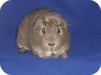 Guinea Pig for adoption in Canton, Ohio - Divit & Ray