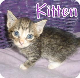 American Shorthair Kitten for adoption in Georgetown, South Carolina - Kitten