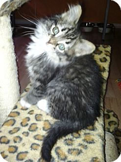 Domestic Longhair Cat for adoption in Las Vegas, Nevada - Aphrodite