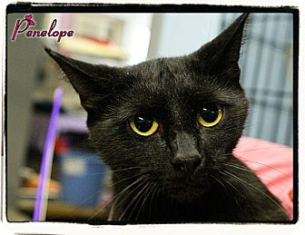 Domestic Shorthair Cat for adoption in Elmwood Park, New Jersey - Penelope