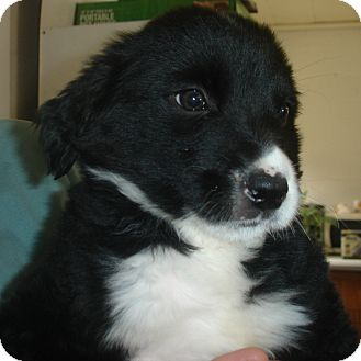 Labrador Retriever/Beagle Mix Puppy for adoption in Old Bridge, New Jersey - Beore