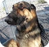 German Shepherd Dog Mix Dog for adoption in Silver City, New Mexico - Pilgram