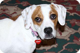 Boxer/Beagle Mix Puppy for adoption in Yorba Linda, California - Maya