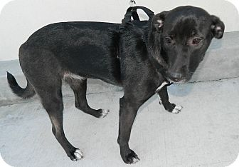 Labrador Retriever/Retriever (Unknown Type) Mix Dog for adoption in Umatilla, Florida - Abby