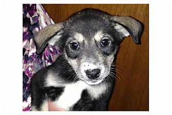 Shepherd (Unknown Type) Mix Puppy for adoption in Pompton Lakes, New Jersey - Elsa