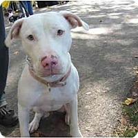 Adopt A Pet :: Diva - Reisterstown, MD