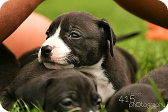 Pit Bull Terrier Puppy for adoption in Mansfield, Ohio - Meeko
