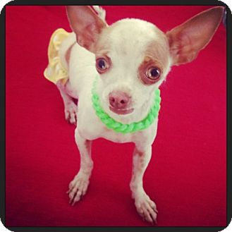 Chihuahua Dog for adoption in Los Angeles, California - Izzy- 3 lb.Happy Girl!