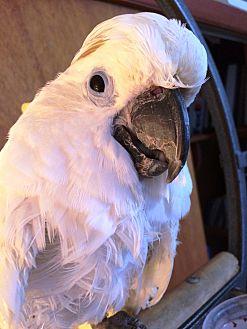 Cockatoo for adoption in Lenexa, Kansas - Kojak