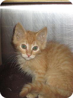 Domestic Mediumhair Kitten for adoption in Pueblo West, Colorado - Donatello