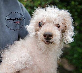 Poodle (Miniature) Dog for adoption in Houston, Texas - Pookie