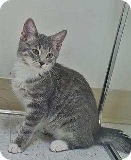 Domestic Shorthair Kitten for adoption in Chambersburg, Pennsylvania - Flynn