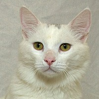 Domestic Shorthair Cat for adoption in Sacramento, California - Cotton L