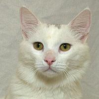 Adopt A Pet :: Cotton L - Sacramento, CA