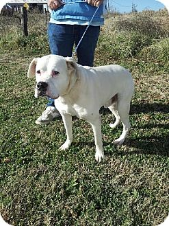 Boxer Dog for adoption in Brentwood, Tennessee - Hercules (courtesy listing)