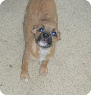 Border Terrier/Wirehaired Fox Terrier Mix Puppy for adoption in Fullerton, California - Elaines Pet Depot