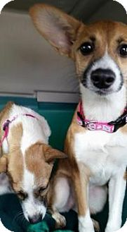 Chihuahua Mix Dog for adoption in Madison, Wisconsin - Marie