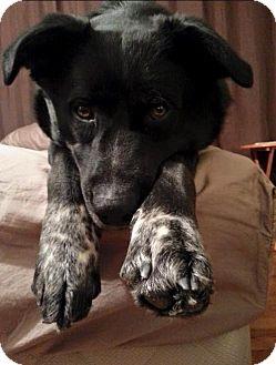 Shepherd (Unknown Type)/Collie Mix Dog for adoption in St. Paul, Minnesota - Navar