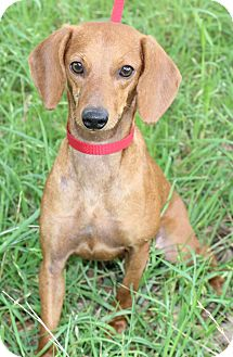 Dachshund Mix Dog for adoption in Monroeville, Pennsylvania - MOLLY