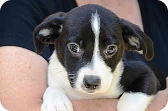 Boston Terrier/Spaniel (Unknown Type) Mix Puppy for adoption in Kalamazoo, Michigan - Saxon - Jack