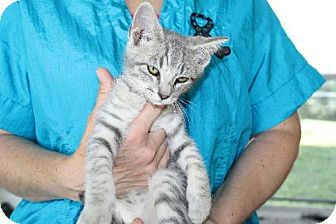 Domestic Mediumhair Kitten for adoption in Cedar Rapids, Iowa - Lucky