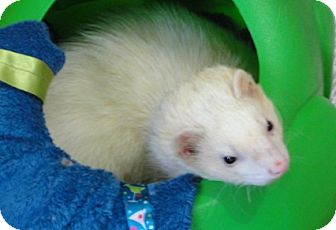 Ferret for adoption in Hartford, Connecticut - Ambien
