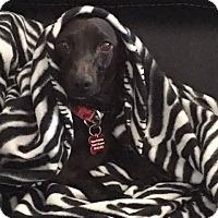 Adopt A Pet :: Sheba - Aurora, CO