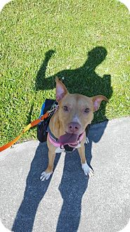 Labrador Retriever/American Pit Bull Terrier Mix Dog for adoption in Orlando, Florida - Mandy