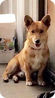 Corgi/Mixed Breed (Medium) Mix Dog for adoption in Pittsburg, Kansas - Shredder