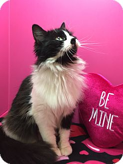 Maine Coon Cat for adoption in Houston, Texas - Cuddles