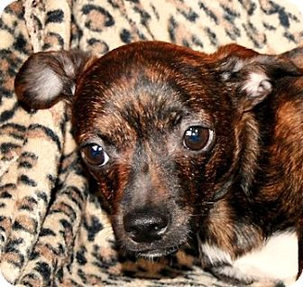 Chihuahua/Terrier (Unknown Type, Small) Mix Puppy for adoption in Portola, California - Chris