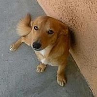 Chihuahua Dog for adoption in Fullerton, California - Pandita