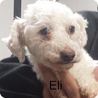 Adopt A Pet :: Eli - Manassas, VA