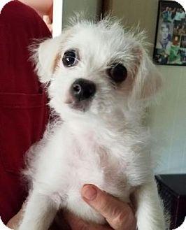 Shih Tzu/Chihuahua Mix Puppy for adoption in Cincinnati, Ohio - Paco