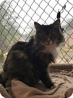 Domestic Mediumhair Cat for adoption in El Dorado Hills, California - Pretty