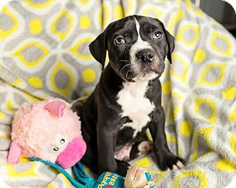 Labrador Retriever/Boxer Mix Puppy for adoption in Milwaukee, Wisconsin - ELVIS