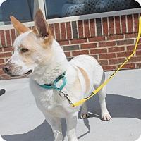 Adopt A Pet :: Carter - Bedford Hills, NY