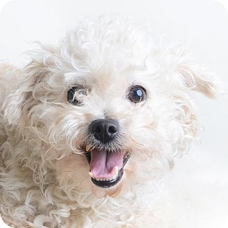 Mixed Breed (Small)/Bichon Frise Mix Dog for adoption in Wilmington, Delaware - Princess
