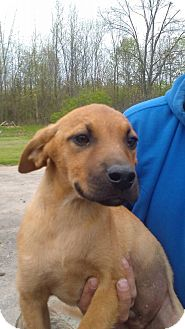 Weimaraner/Labrador Retriever Mix Puppy for adoption in Kendall, New York - Dutch
