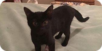 Domestic Shorthair Kitten for adoption in Lexington, Kentucky - River