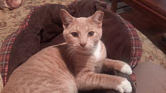 Domestic Shorthair Cat for adoption in Carlisle, Pennsylvania - Fergis