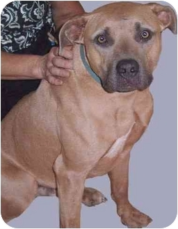 American Pit Bull Terrier Mix Dog for adoption in Grass Valley, California - Buster