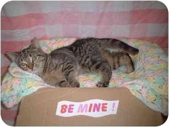 Domestic Shorthair Cat for adoption in Honesdale, Pennsylvania - Sneaker