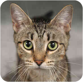 Domestic Shorthair Cat for adoption in Chicago, Illinois - Gracie
