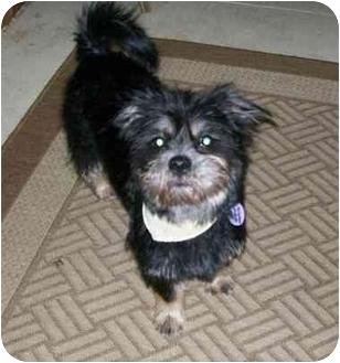Shih Tzu/Yorkie, Yorkshire Terrier Mix Dog for adoption in Rigaud, Quebec - Jasmin