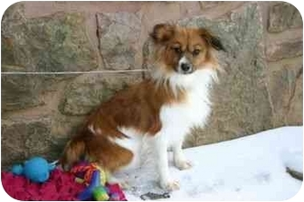Papillon Dog for adoption in Muldrow, Oklahoma - McKenzie
