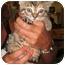 Photo 4 - Domestic Shorthair Kitten for adoption in Randolph, New Jersey - Deb's foster kittens