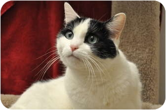 Domestic Shorthair Cat for adoption in Foothill Ranch, California - Chloe