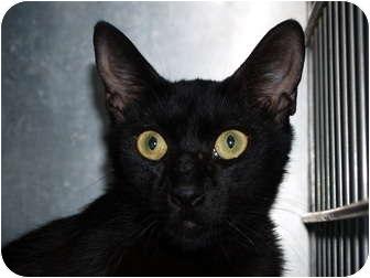 Domestic Shorthair Cat for adoption in El Cajon, California - Ebony