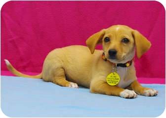 Chihuahua/Dachshund Mix Puppy for adoption in Westminster, Colorado - BUTTERCUP